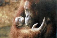 Una hembra de orangután sostiene a su cría en el centro de recuperación de fauna de la Borneo Orangutan Survival Foundation en Indonesia. Fotografía de 2009.
