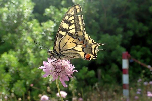El macaón o mariposa rey (Papilio machaon).