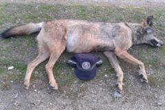 Un lobo fallecido en la carretera M-608.