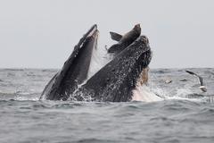 Un león marino cae en las fauces de una ballena jorobada, en la costa de la Bahía de Monterey, California..