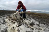 Un investigador del Instituto Polar Noruego observa un esqueleto de reno.