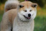 Un perro de raza akita inu como el que ha atacado a la familia de Mataró.