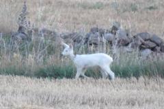 Corza blanca