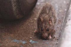 Las ratas y las cucarachas invaden las calles de Ibiza
