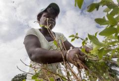 El cultivo de la coca, el salvavidas de muchas familias colombianas