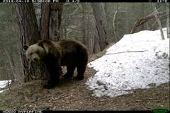 Una imagen captada del oso al salir de la hibernación.