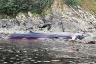 La ballena en la costa asturiana.