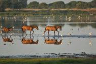 Tres caballos se abren paso por uno de los humedales del Parque de Doñana.