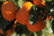 Cultivos de naranjas en una explotación agraria.
