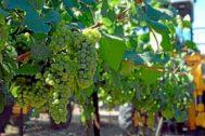 Recogida de la uva Chardonnay con la que se elabora el cava.