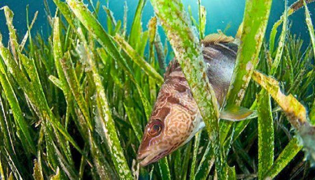 Un pez nadando a través de praderas de posidonia.