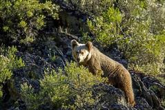 Manifestación contra la reintroducción de osos en el Pirineo