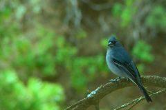 Ejemplar de pinzón azul de la isla de Gran Canaria.