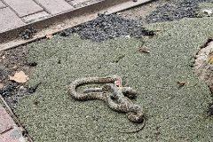 Una serpiente muerta salió ayer de las alcantarillas desbordadas de la ciudad de Ibiza.