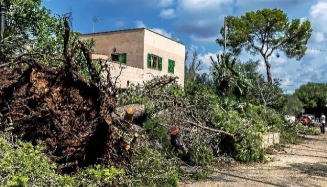 Numerosos árboles caídos por la tomenta en Cala Llombards.