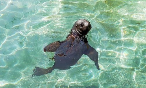 La cría de león marino que ayer se presentó en el Oceanogràfic de Valencia.