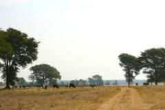 Ganado pastando en Zambia