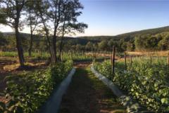 Una de las plantaciones de frambuesas de la localidad.