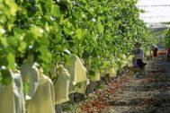 Una trabajadora recoge la uva embolsada del Vinalopó en una finca de la provincia de Alicante