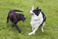 Dos perros juegan en Oslo.