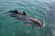 Una imagen de un delfín con su cría.