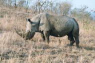 Un rinoceronte blanco del norte en África.