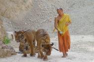 Un monje con dos tigres en Tailandia.