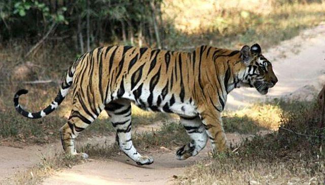 El tigre es una de las grandes especies sen la que se centran la mayoría de los estudios.