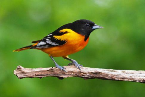 La oropéndola de Baltimore, uno de los pájaros en declive