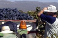 Labores de la vendimia en una explotación vitivinícola en una imagen de archivo.