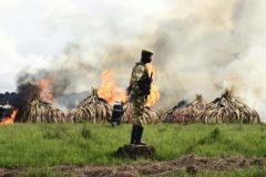 Quema de marfil en Nairobi para prevenir su tráfico ilegal.