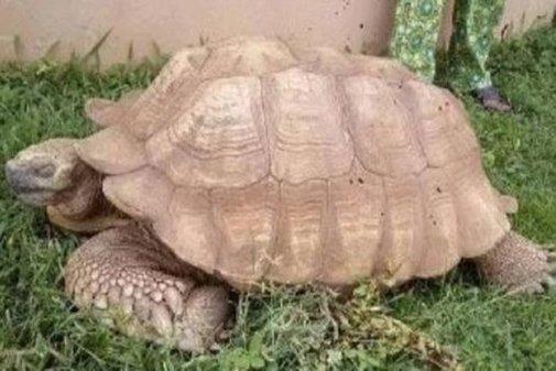 Muere a los 344 años Alagba, la tortuga más vieja de África