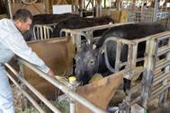 Kaga, la primera vaca clonada, en una imagen de junio de 2018.