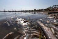 Hallan miles de peces y crustáceos muertos en el Mar Menor.