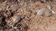 Peces y crustáceos muertos del Mar Menor.