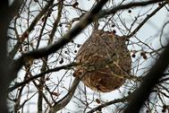 Nido de avispa (vespa velutina nigritorax) asiática construido en un árbol de San Sebastián, en Guipuzcoa.