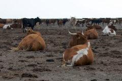 Vacas pastando en una de las zonas de Doñana donde se pastorea.