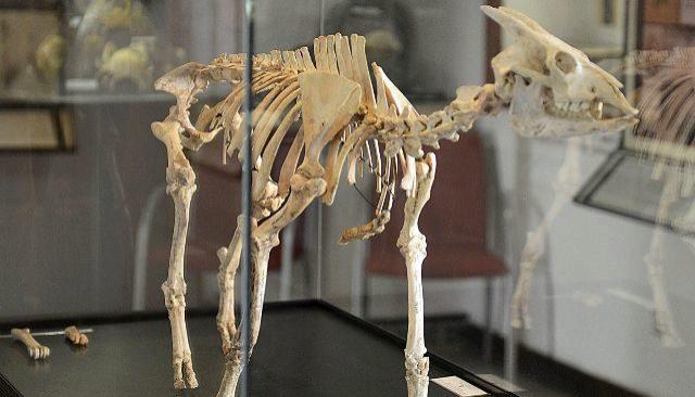 Myotragus La Cabra Rata Balear única En Su Clase Baleares