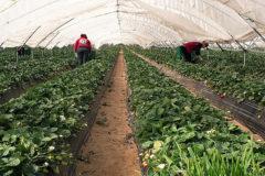 Plantación de fresas en la provincia de Huelva.