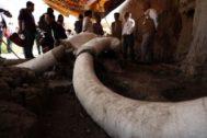 Vista de los restos de mamuts hallados en Tupeltec