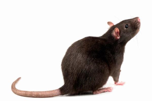 "Resultado de imagen de rata negra"""