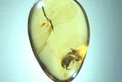 Pieza de ámbar con el escarabajo 'Angimordella burmitina'.