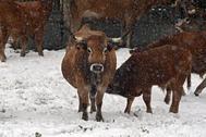 Varias vacas pastan en la región de Pontedo que se encuenrta cubierta de nieve por el temporal que azota la región.