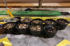 Capazos repletos de pepinos o carajos de mar incautados por la Guardia Civil a los furtivos.