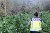 Un 'bosque' de marihuana en Aragón