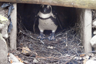 Uno de los machos incuba el huevo robado en el zoo de Amersfoort.