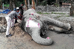 Guardias forestales miden el cadáver del elefante Bin Laden