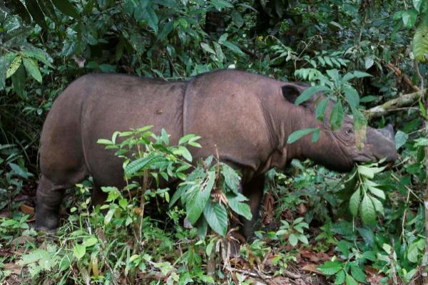 Ratu, de ocho años, una rinoceronte de Sumatra como Iman que vive en...