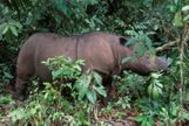 Ratu, de ocho años, una rinoceronte de Sumatra como Iman que vive en el Santuario de Rinocerontes de Lampung, en Indonesia.