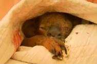 Lewis, el koala rescatado por Toni Doherty.
